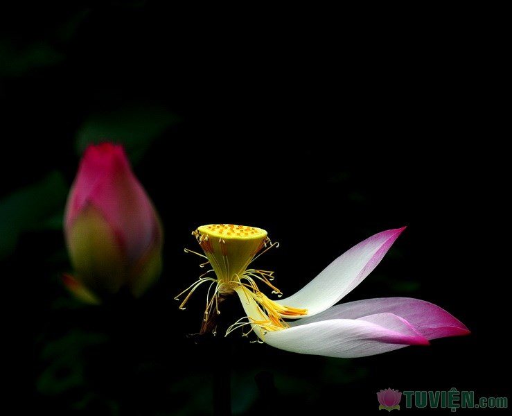 vo_thuong_lotus_216682044.jpg