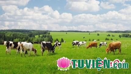 Đàn bò và cánh đồng cỏ - Câu chuyện về Niệm Phật và cầu nguyện theo phong cách Phật giáo
