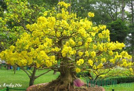 Ngày Tết nói về hai mươi bốn loài hoa mai