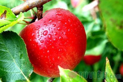 Hương táo
